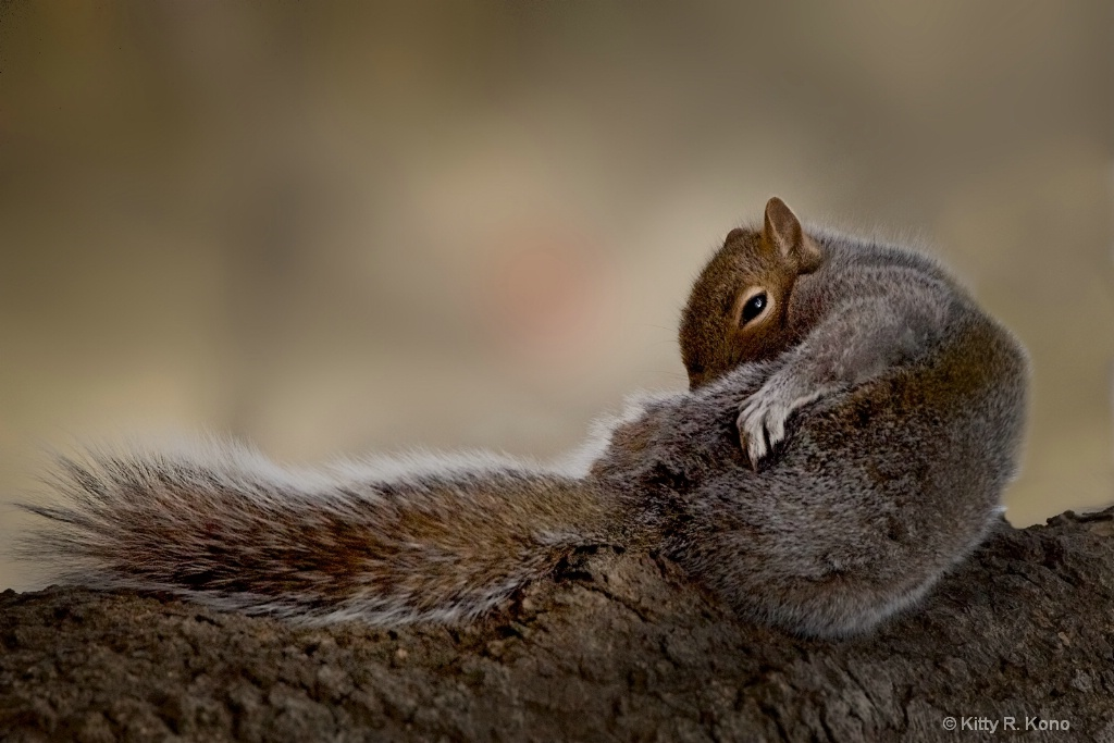 The Grooming Squirrel