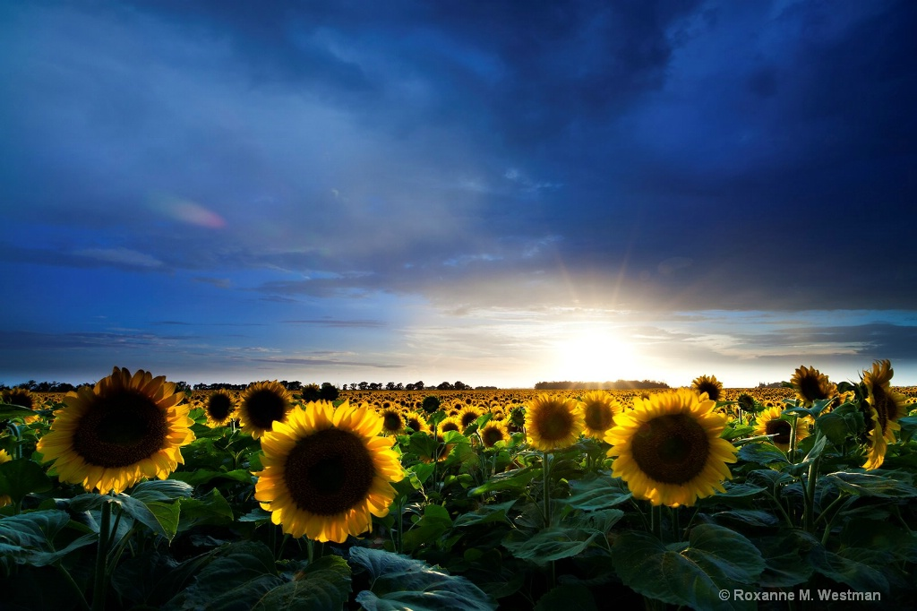 Stormy sunflowers in North Dakota