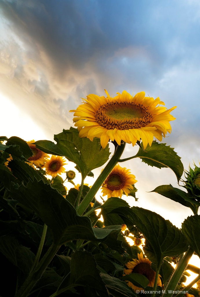 Sunflower in the clouds