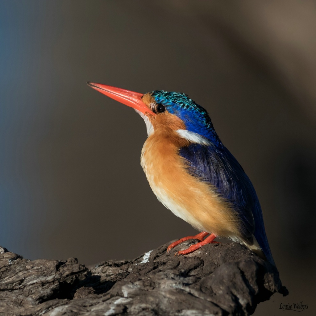 Malachite Kingfisher 1