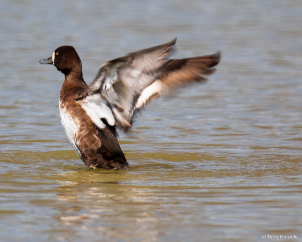 Greater Scaup (female)