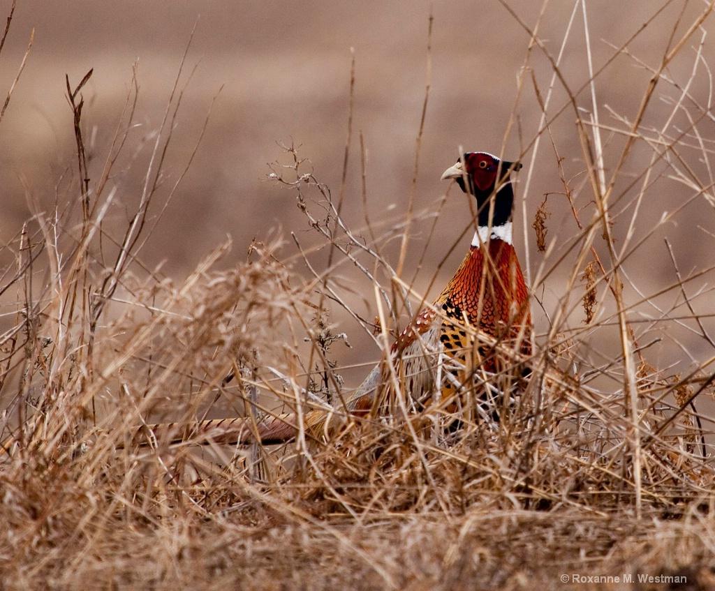 Through the brush, ring necked pheasant