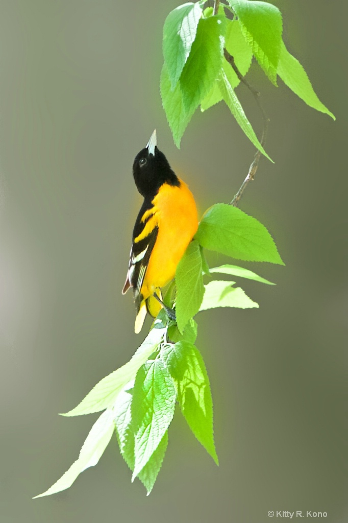 The Baltimore Oriole