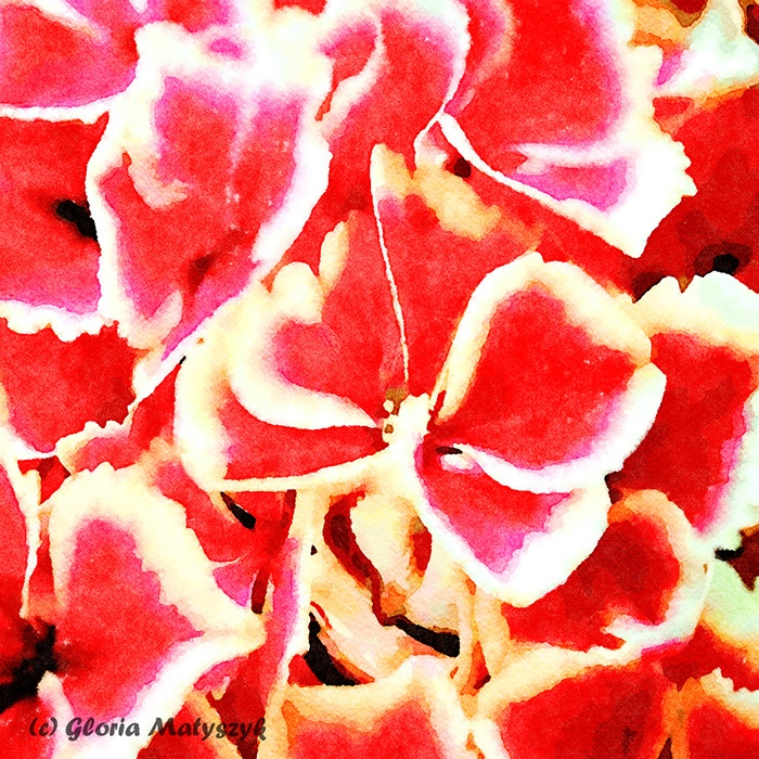 Red and white Hydrangea macro