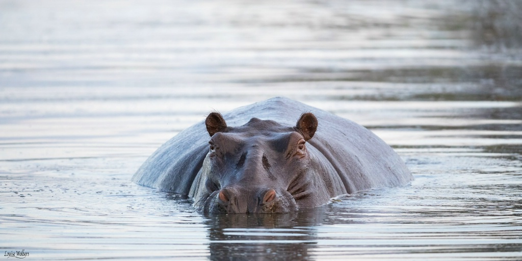A Very Fat Hippo