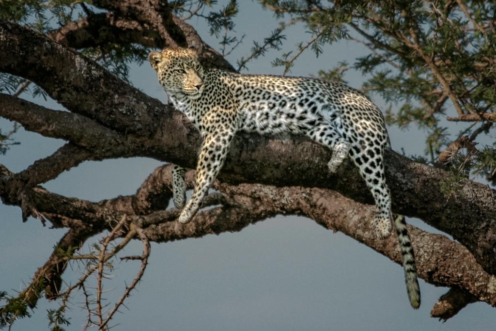 Resting Leopard  5066