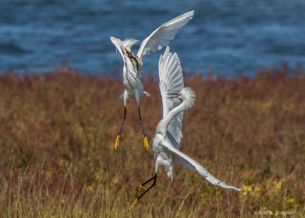 Battling Snowy Egrets.