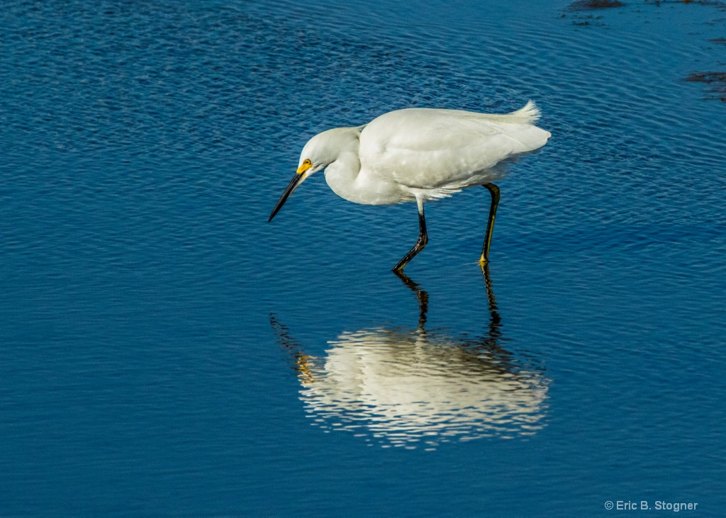 Snowy Egret with Reflection.