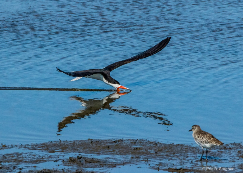 Black Skimmer with Reflection.