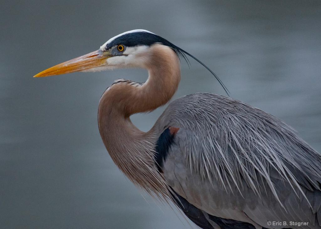 Great Blue Heron ll.