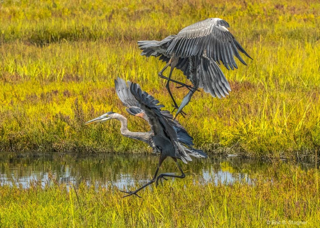 Battling Herons.