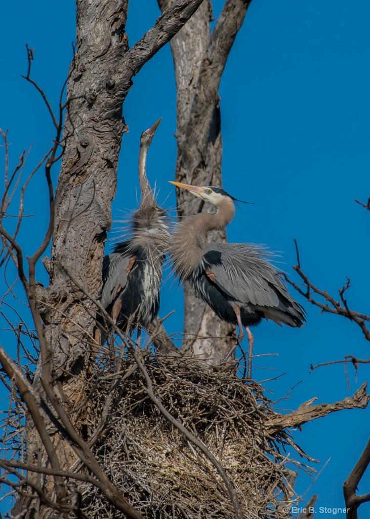 Nesting Herons.
