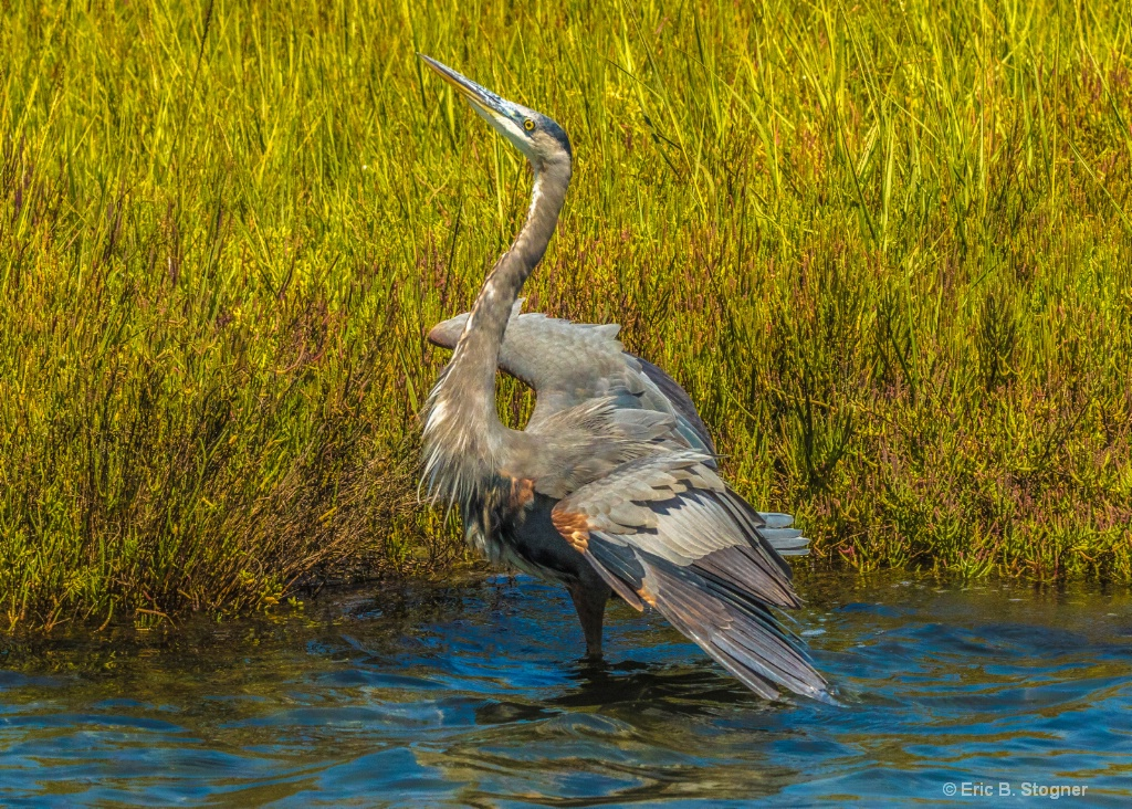 Great Blue Heron l.