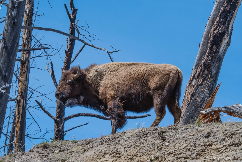 Bison in Yellowstone # 3