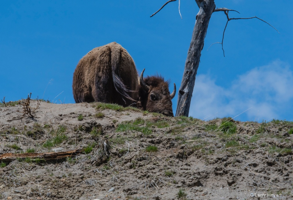 Bison in Yellowstone # 5