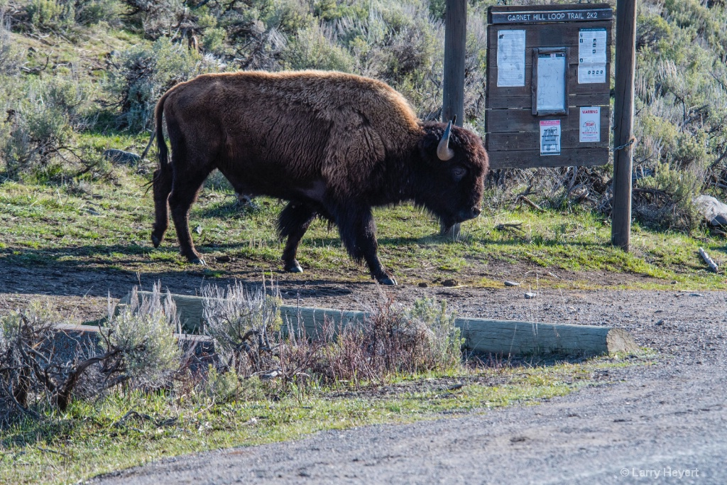 Bison on the Trail