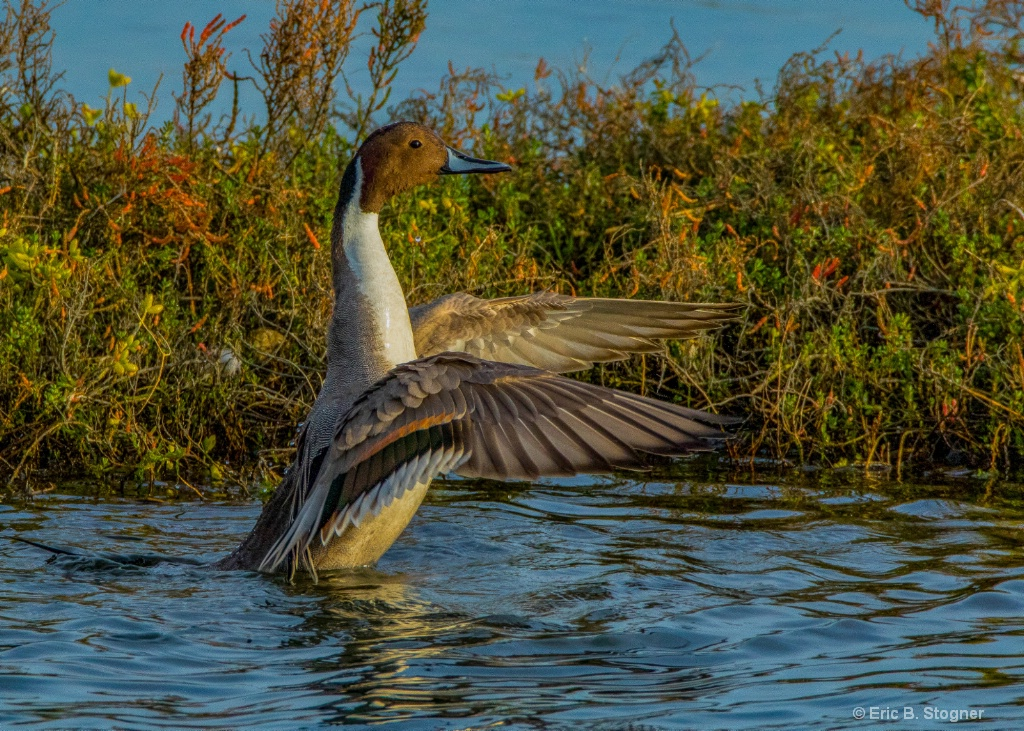 Proud Northern. Pintail.