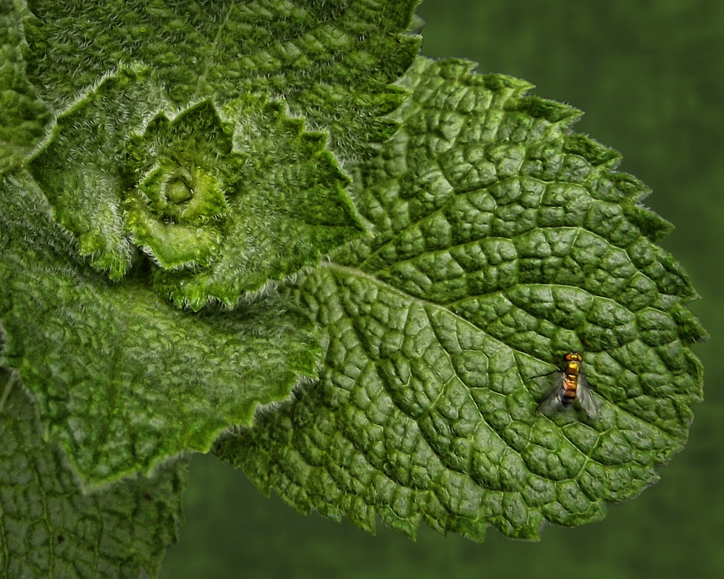 Mint with a fly