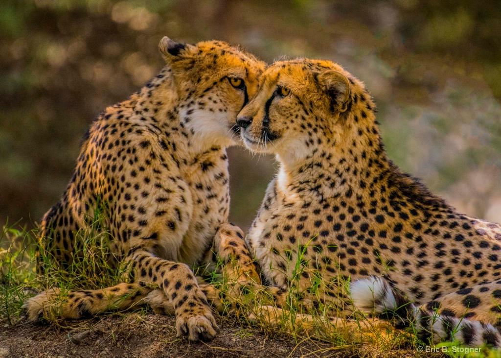 Cheetah Sisters.