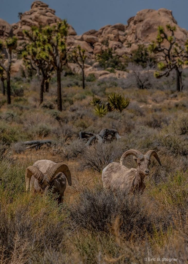 Grazing Big Horn Sheep.