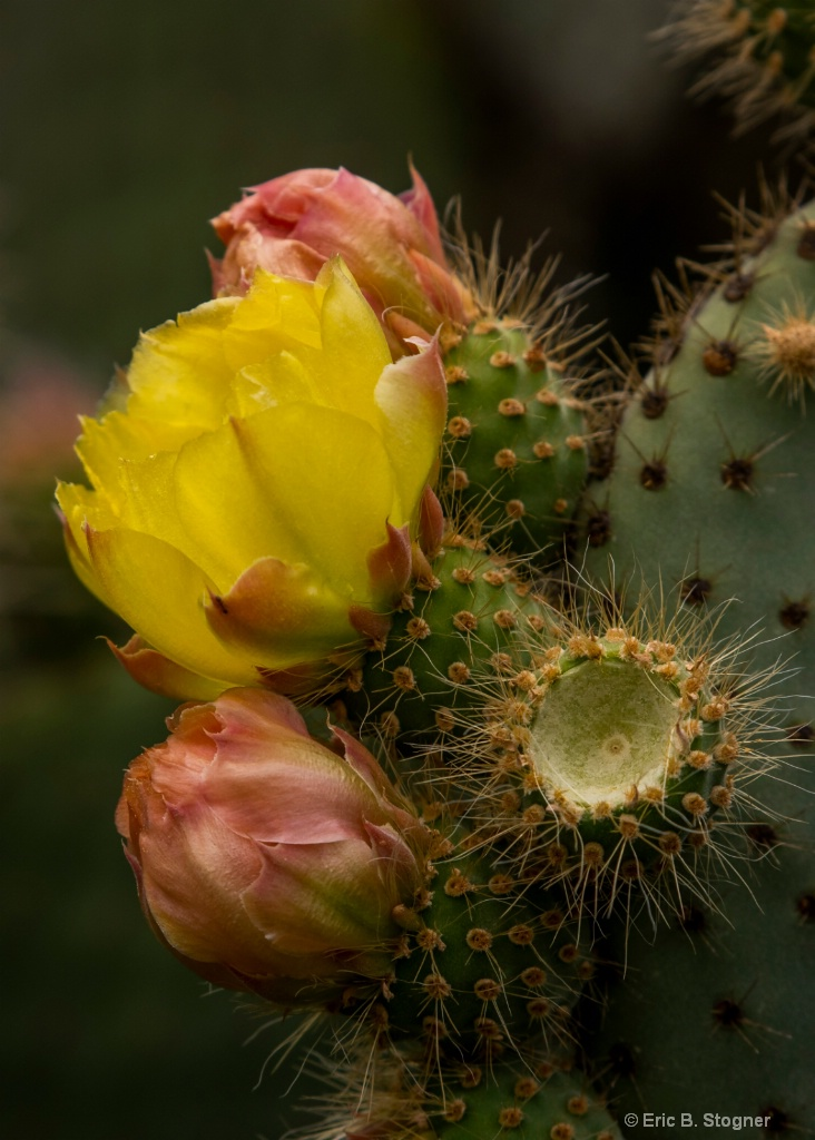 Satin and Yellow Cacti.