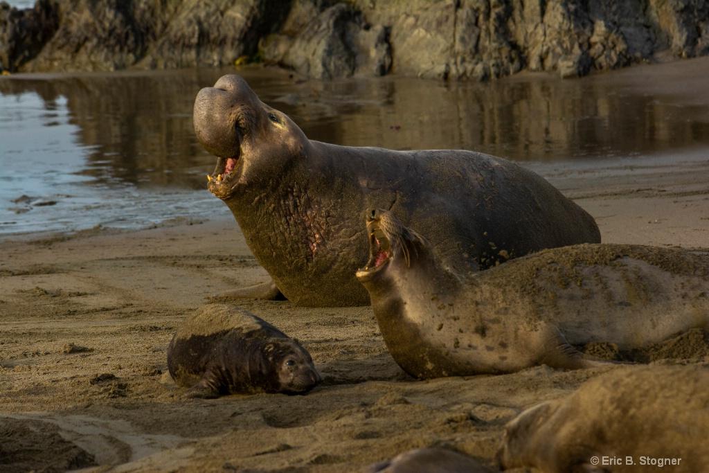 Elephant Seal Family.