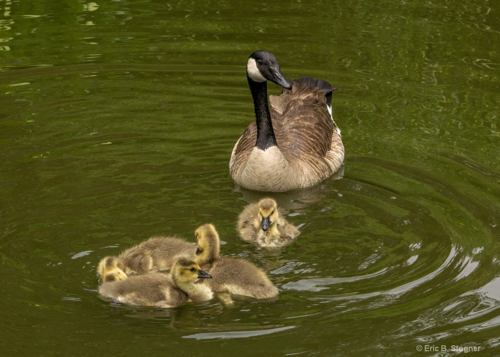 Canada Mom and Goslings.