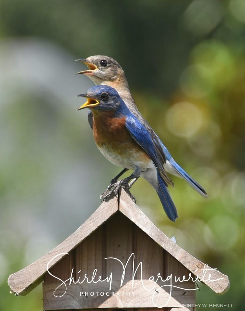 Bluebird Family 2018