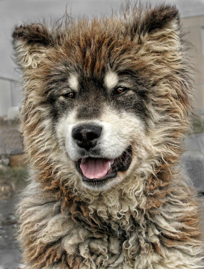 Sled Dog Pup