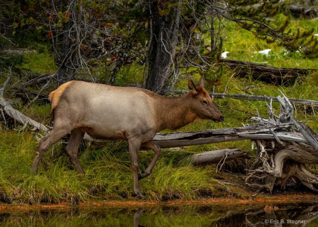 Female Elk l.