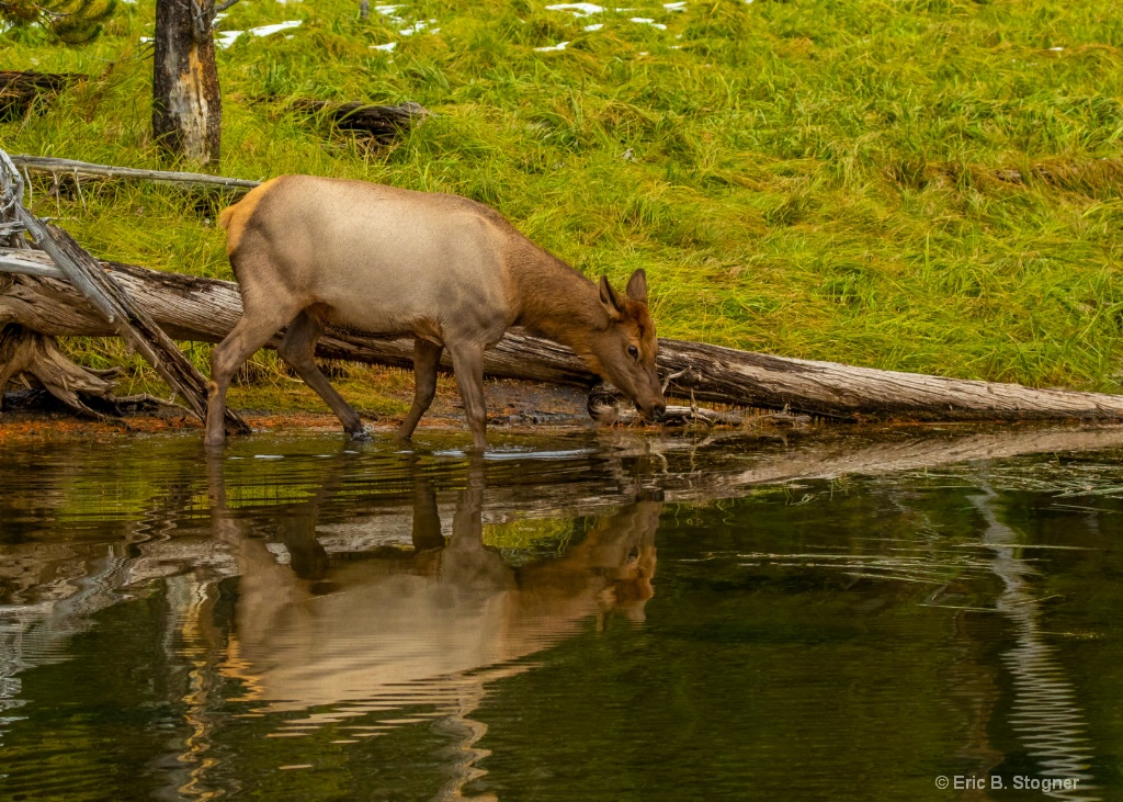 Female Elk and Reflection.