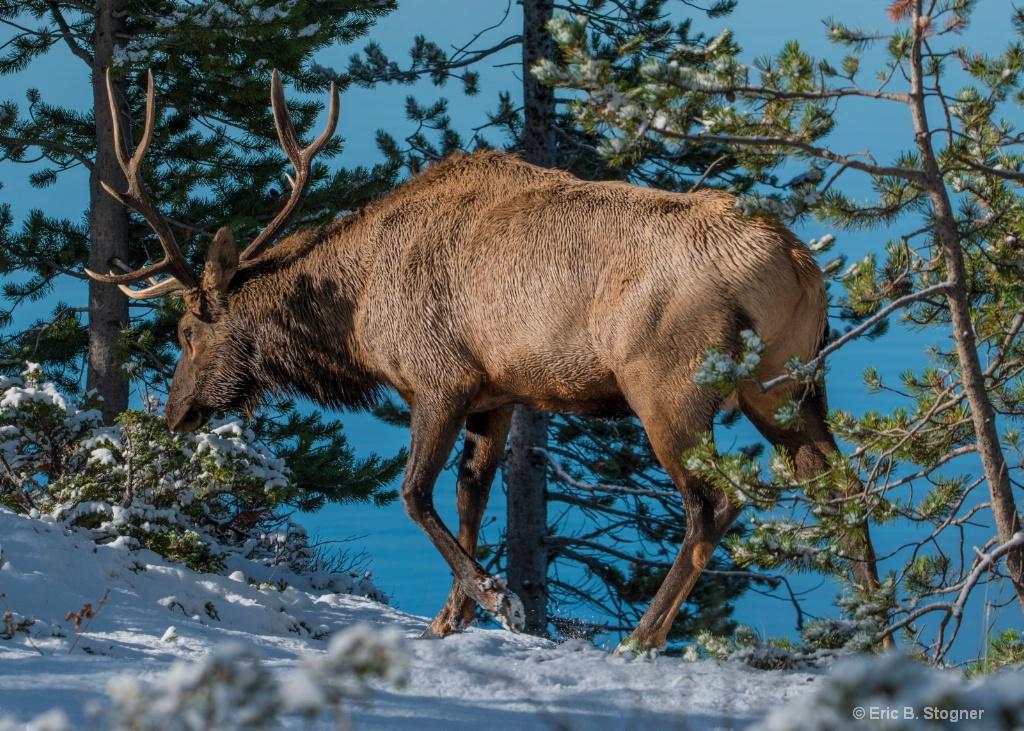 """""""Roadside"""" Male Elk."""