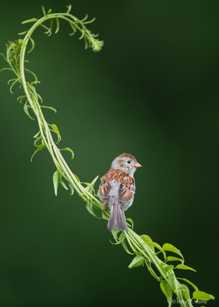 The Field Sparrow