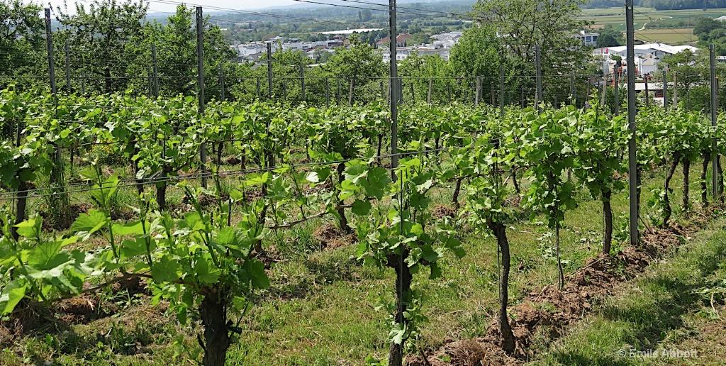 Grapevines in Denzlingen