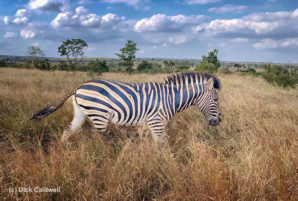 Zebra in Kruger Nat Park,S Africa by Dick Caldwell
