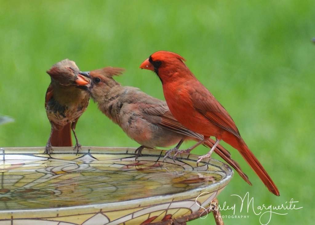 A Dutiful Mother feeds her fledging  Cardinal