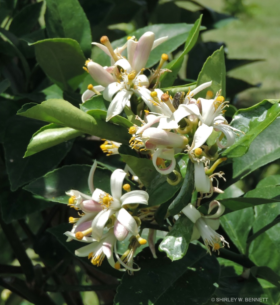 LEMON TREE BLOSSOMS
