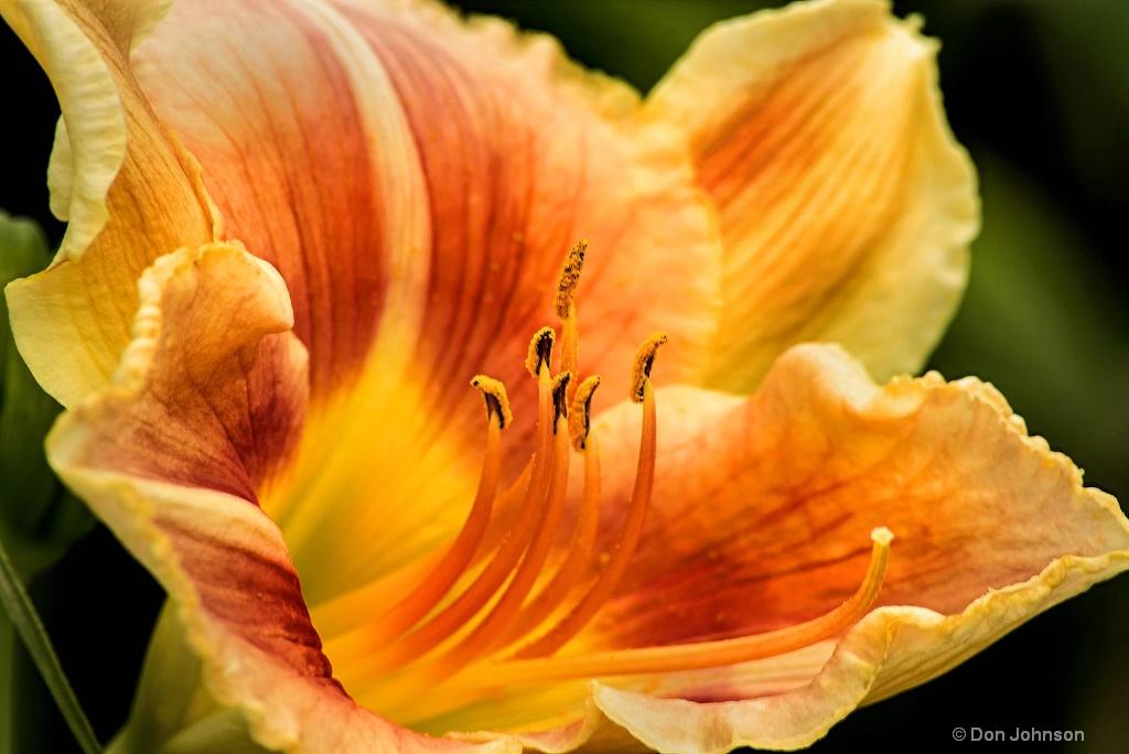 Multi-Colored Day Lily 3-0 F LR 6-23-18 J117 edite