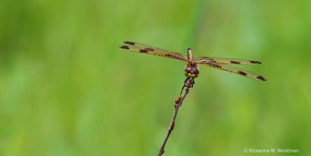 Dragonfly balancing act