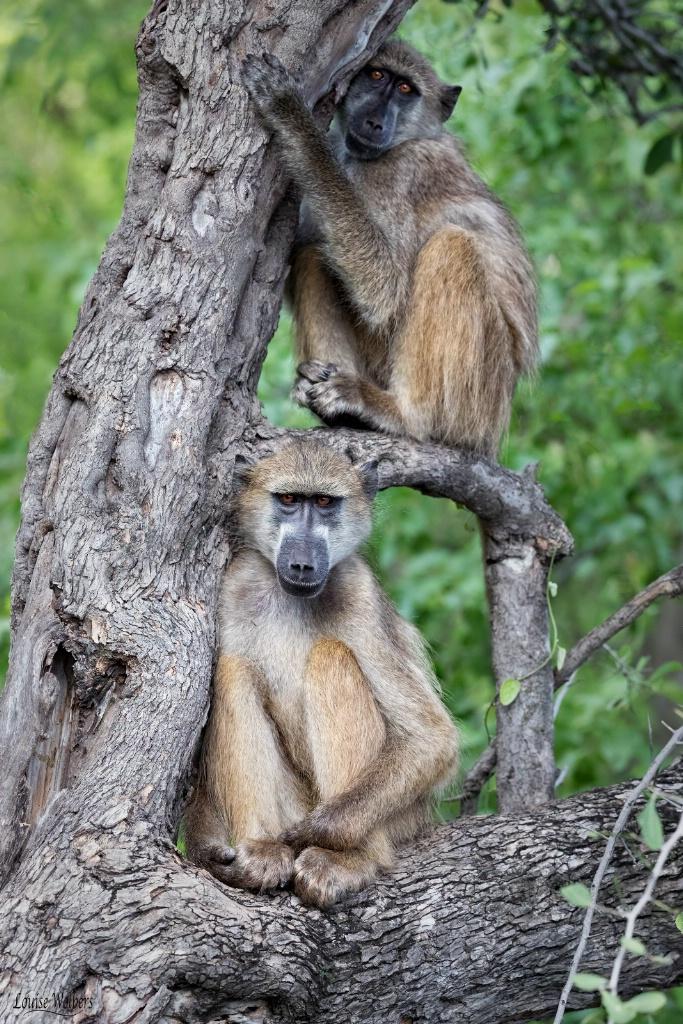 Naughty Monkey's