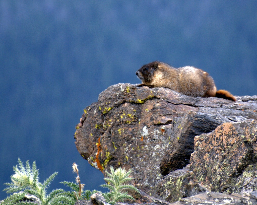 Marmot on overlook
