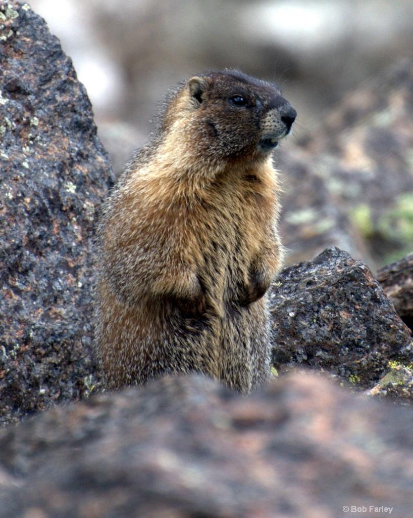 Marmot looking