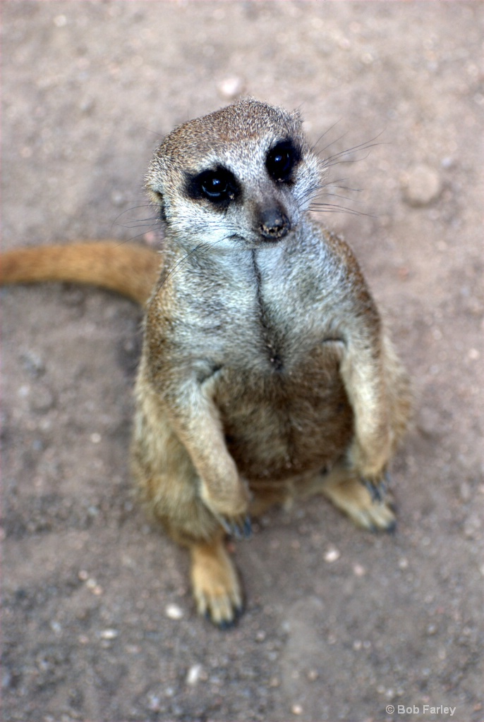Meerkat sad eyes