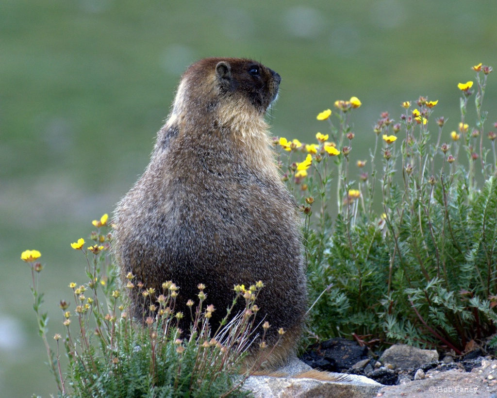 the majestic marmot