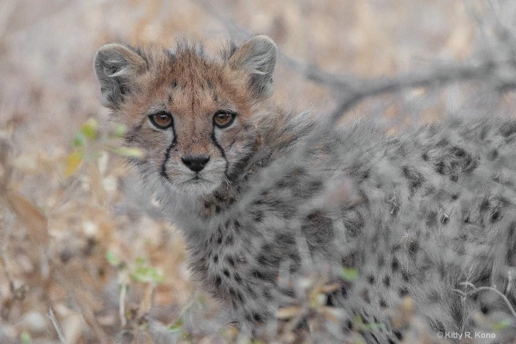 Baby Cheetah Hiding in the Brush