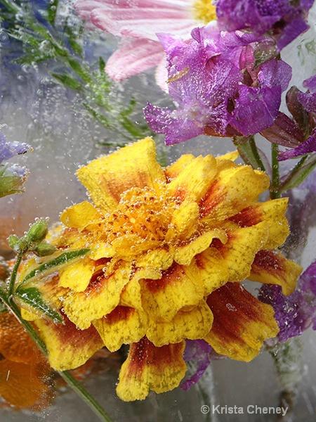 Marigold in ice IV 'b'