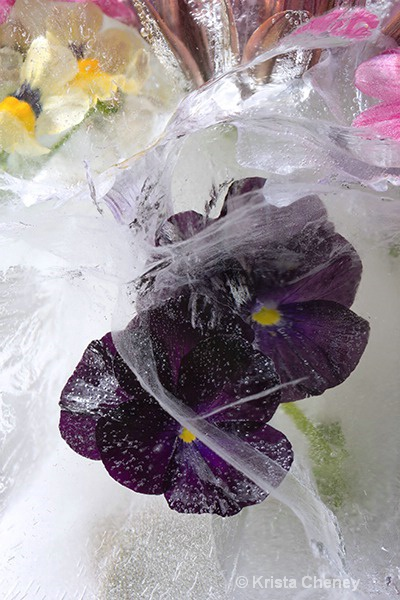 Black pansies in ice
