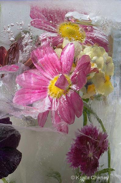 Pink daisy in ice II