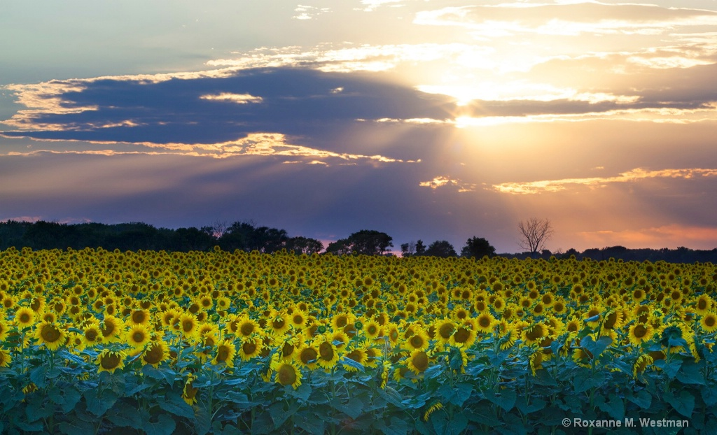 Split sun star over the sunflowers