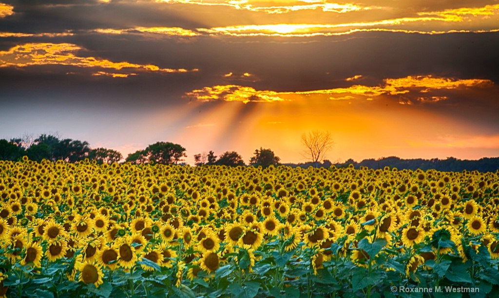 North Dakota sunflowers in their glory